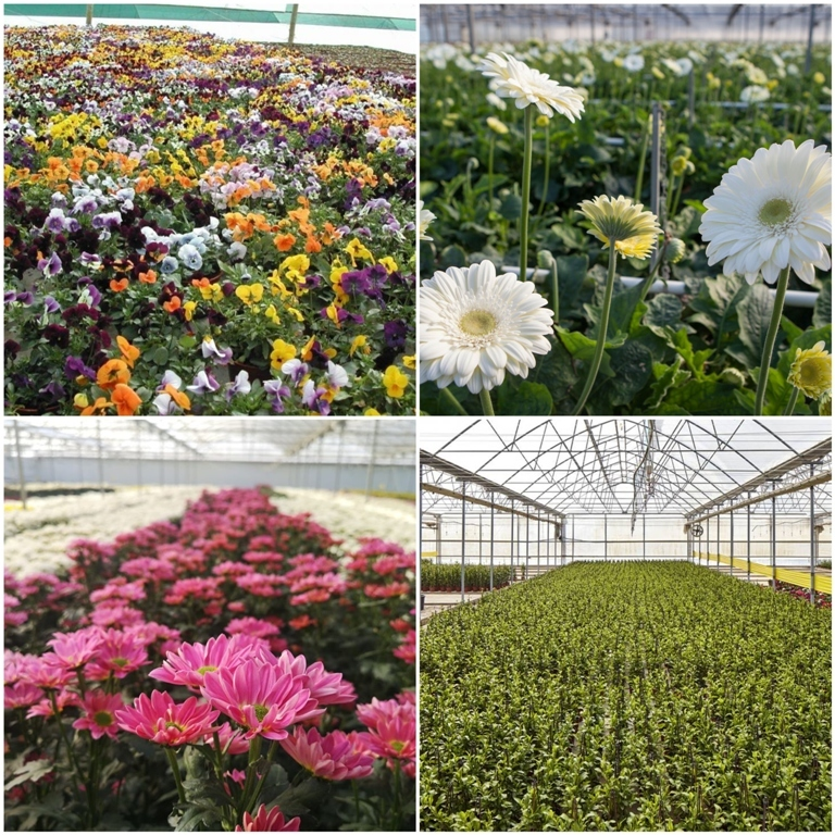 Produtores de flores perdem mais de dois milhões de euros por dia